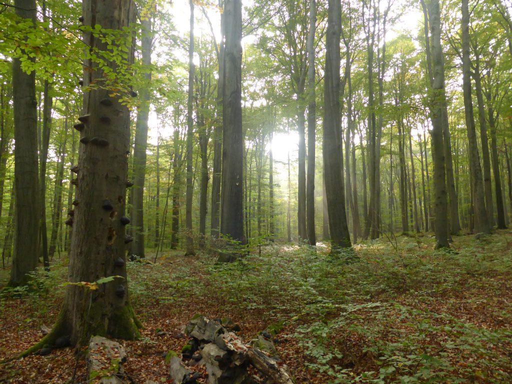 Wald, Pilze, Pilzschule, Seminare, Baden-Württemberg, Pilzführung Stuttgart, Schwäbisch Gmünd,Schwäbischer Wald, Buchenwald