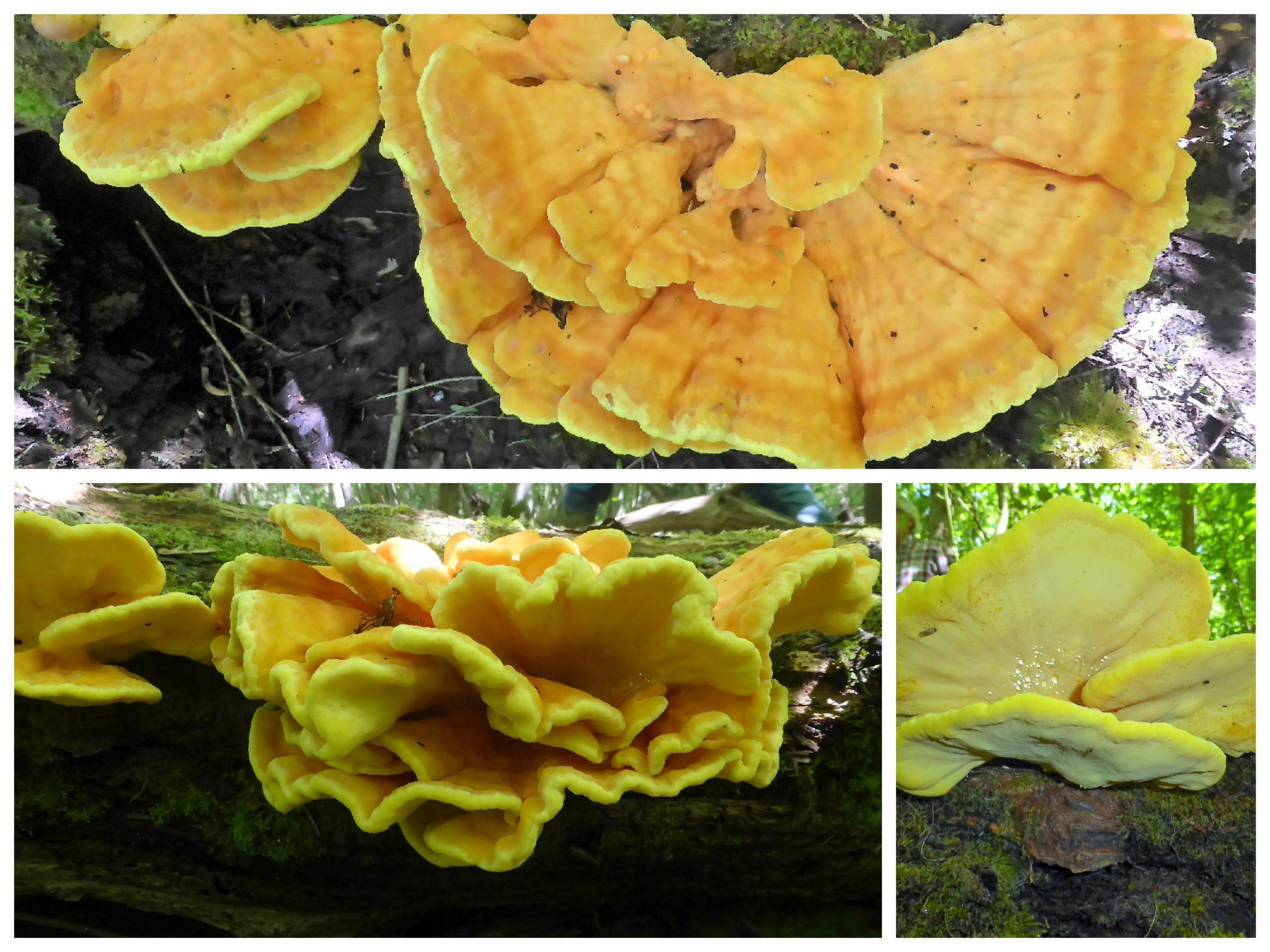 Schwefelporling, Laetiporus sulphureus, Seminare, Pilzkurse, Schwäbischer Wald, Schwäbisch Gmünd